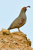 A Gambil's Quail taken May 17, 2012 in Grand Junction, CO.