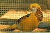A Ghigi's Pheasant taken Sep. 26, 2011 near San Francisco, CA.