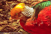 A Golden Pheasant taken Jun. 20, 2012 in Eureka, CA.