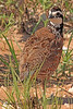 A Northern Bobwhite taken July 25, 2010 near Portales, NM.