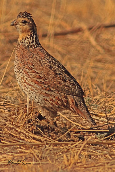 A Northern Bobwhite taken May 15, 2011 near Portales, NM.