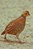 A Northern Bobwhite (Masked Bobwhite subspecies) taken Feb. 3, 2012 near Tucson, AZ.
