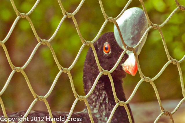 A Northern Helmeted Curassow taken July 19, 2012 in Albuquerque, NM.
