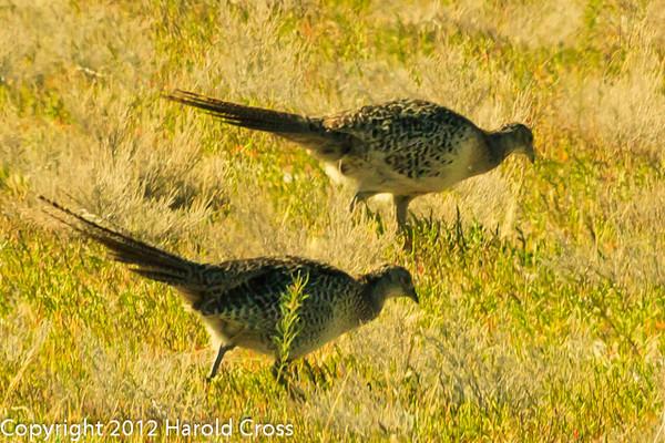 Ring-necked Pheasants taken June 12, 2012 near Brigham City, UT.