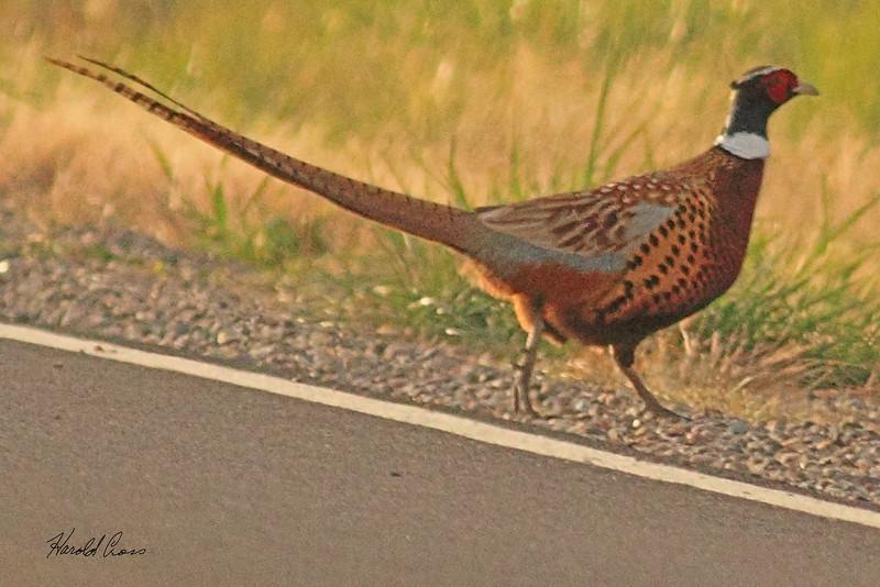 A Ringed-necked Pheasant taken Oct. 29, 2010 near Fruita, CO.