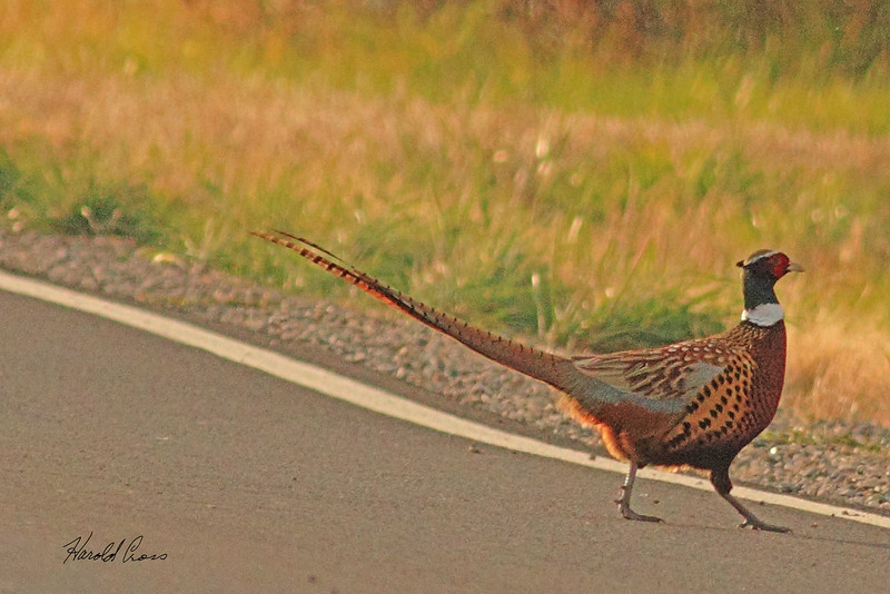 A Ringed-necked Pheasant taken Oct. 29, 2010 near Fruita, CO.