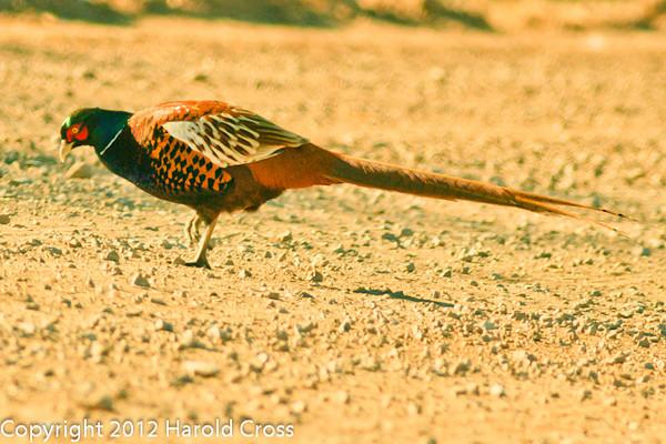 A Ring-necked Pheasant taken Jan. 31, 2012 near Socorro, NM.