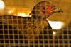 A Swinhoe's Pheasant taken Sep. 26, 2011 near San Francisco, CA.