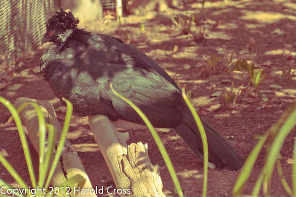 A Yellow-knobbed Currasow taken Feb. 20, 2012 in Tucson, AZ.