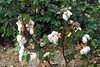 Cotton plants in the field near Suleymanli, Turkey, Eurasia.