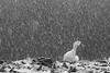 Snowy duck, Sünnet Gölü, Bolu