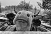 Friendly cow, Sünnetköy, Bolu