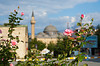 A closeup of a rose blossom with a mosque and minaret in the background in Isparta, Turkey, Eurasia.