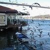 Gulls of Rumelihisarı
