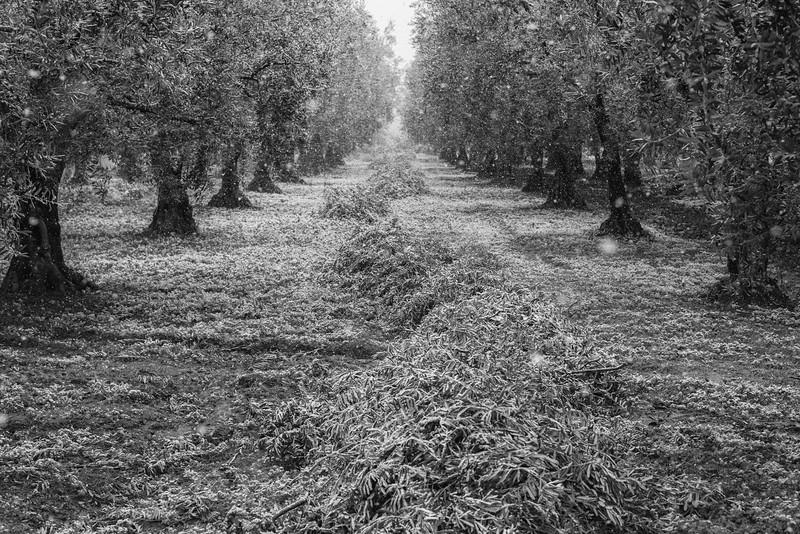 Olive grove, Iznik, Turkey