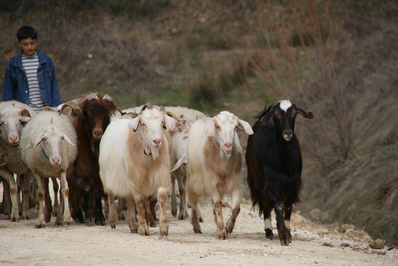 Herding, Iznik, Turkey