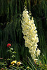 The white blossom of the spear yucca in rural Turkey.