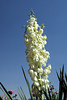 The white blossom of the spear yucca in rural Turkey, Eurasia.