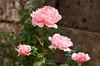 Roses at the site of the former Christian Church in Philadelphia, Turkey, Eurasia.