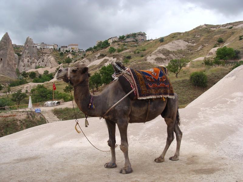 Camel near Adn Valley Walking Path