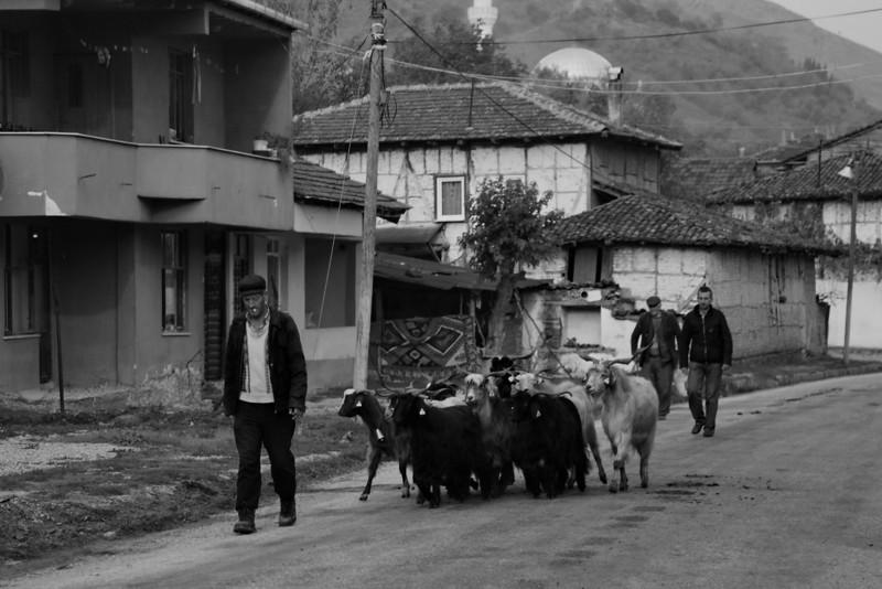 Goat parade, Bayındır, Turkey