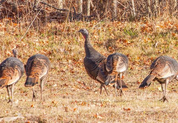 Turkey ,pheasants