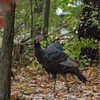 turkey      511