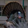 turkey             a11sm