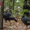 turkey      711