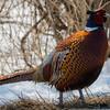 pheasant                 211aa