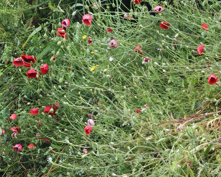 Wild poppies at Ephesus