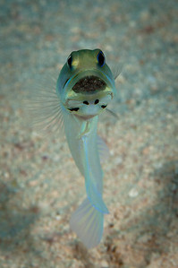 Yellowheaded Jawfish with Eggs
