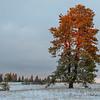 Stately Ponderosa Pine Tree