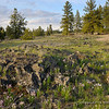Scablands with Grass Widows