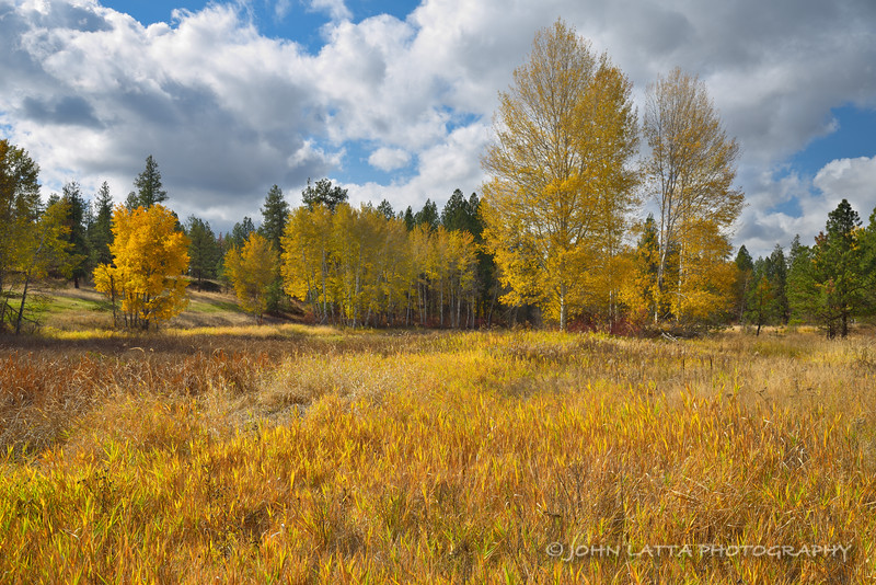 Golden Aspens and Grasses