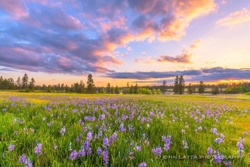Camas in Bloom