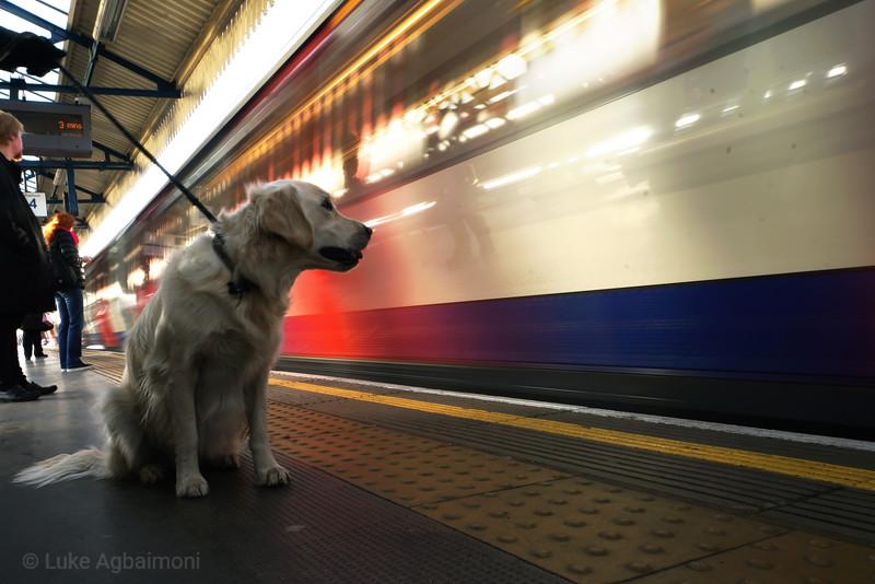 Dog waiting for train at Turnham Green