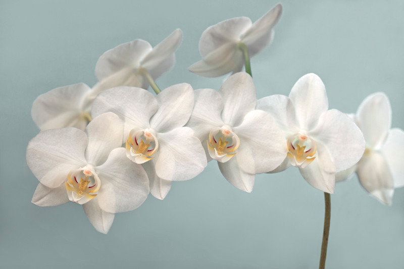 White Orchid 16