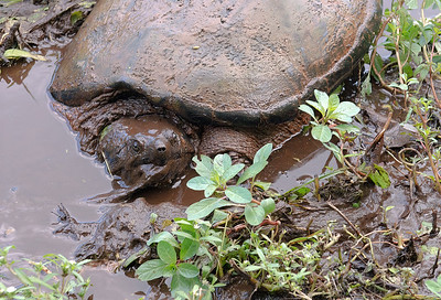 Common Snapping Turtle in mud.