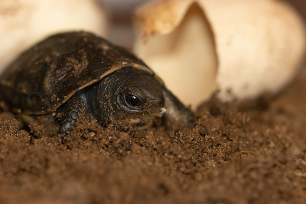 Eastern Box Turtle Hatchling