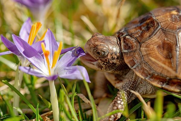 Eastern Box Turtle with crocus bloom.