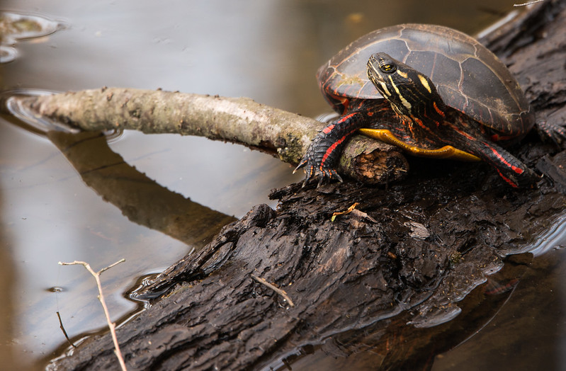 Esstern Painted Turtle