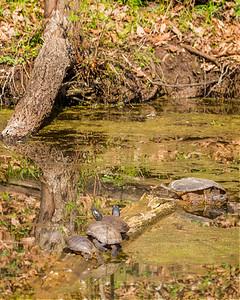 Cardinal, Heron & Turtles-9