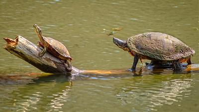 Cardinal, Heron & Turtles