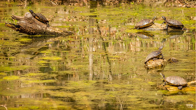 Cardinal, Heron & Turtles-11