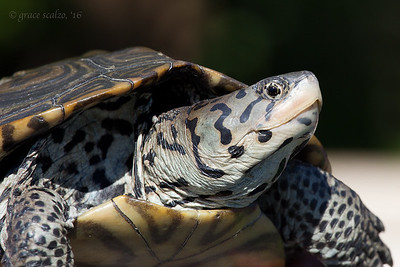 Diamondback Terrapin Portrait