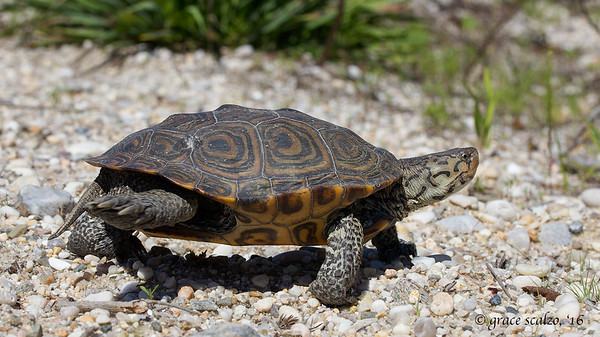 Diamondback Terrapin taking a walk