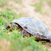 EASTERN PAINTED TURTLE
