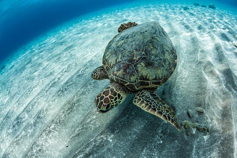 Ho'okena turtle.