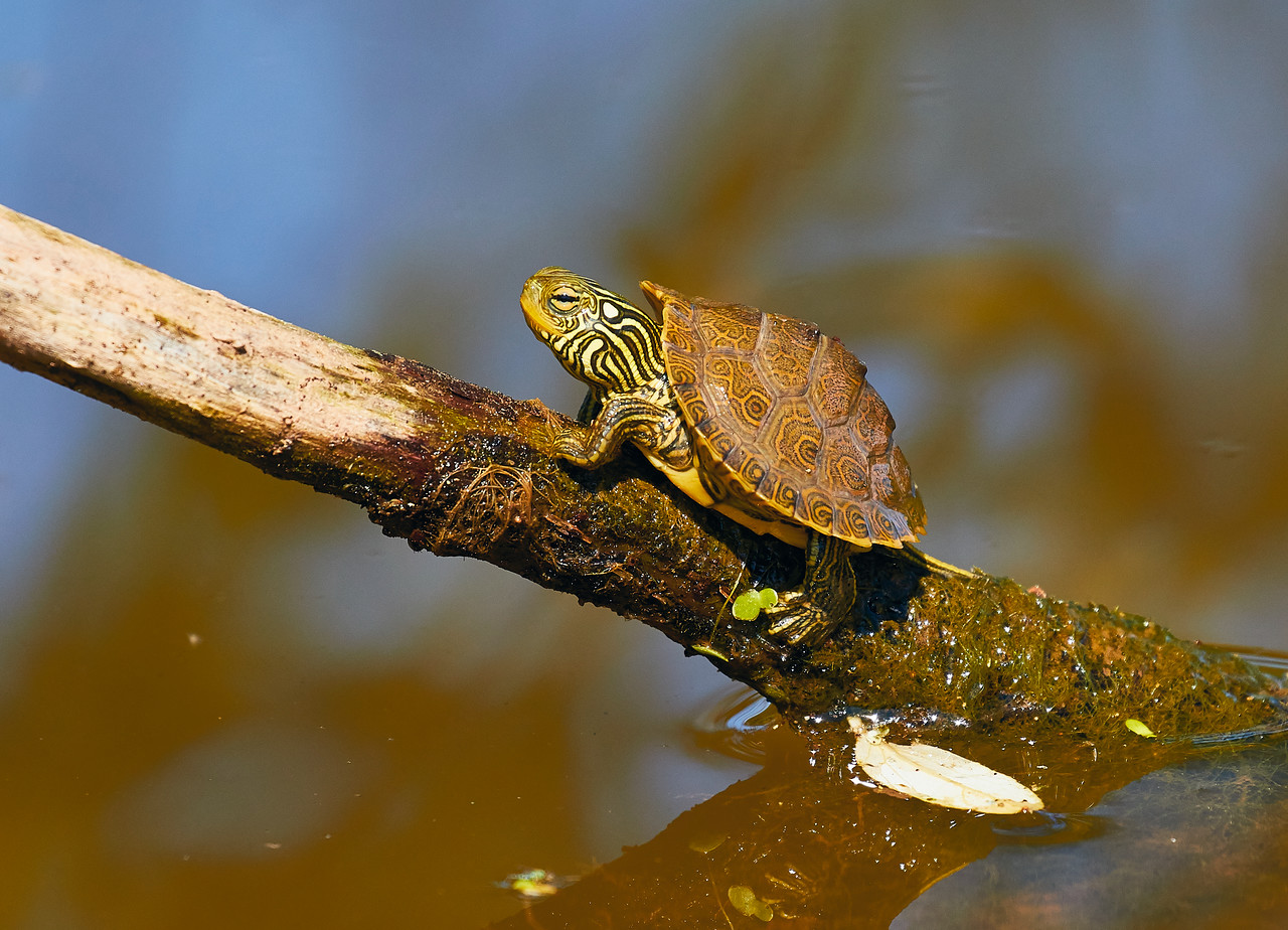 Baby Map Turtle